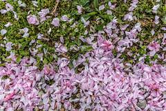 03-Pétales de cerisier fleurs (Alain COSTE) Tags: maison nikon pessac sigma20mmf14 fleur herbe jardin pétales gironde france fr