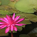 Flower - Lotus thumbnail