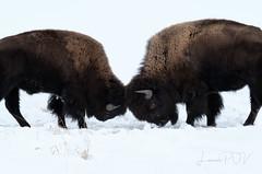o u t m a t c h e d (laura's POV) Tags: bison buffalo animal mammal wildlife snow cold winter seasons fight tussle dominance huge strong jacksonhole wyoming gtnp grandtetonnationalpark tetons nationalpark west western unitedstates northamerica lauraspov lauraspointofview
