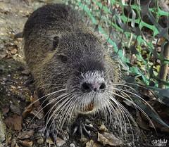 rats gondins (marc.schoebel) Tags: rat rats gondin gondins animals animal animaux rongeur aquatique