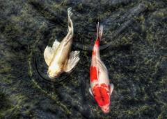 Clear Water (Robert Cowlishaw (Mertonian)) Tags: koi mertonian wavy curvy robertcowlishaw canon powershot g1x mark iii canonpowershotg1xmarkiii ineffable beauty awe wonder 4sophia beautiful maui2018 colors colours yesfishhere pond