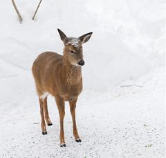 Little deer (Deer Behaviour) ((nature_photonutt) Sue) Tags: littledeer ouryard ironbridgeontariocanada