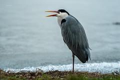 Heron (THW-Berlin) Tags: greyheron heron reiher graureiher vögel birds animals tiere wildlife sony alpha6500 sigma 134mm aves