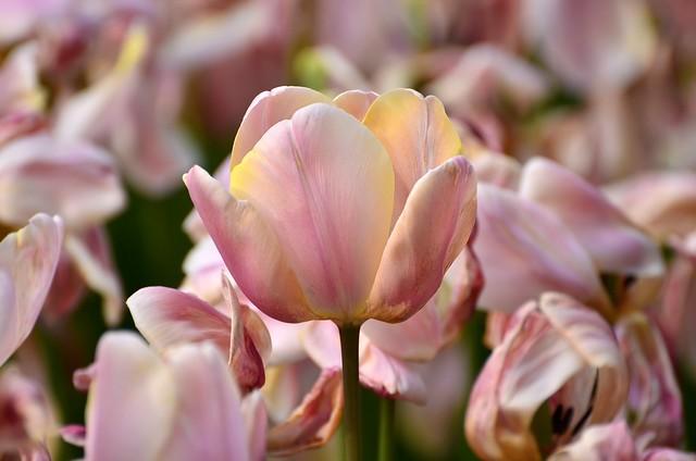 Обои макро, лепестки, тюльпаны картинки на рабочий стол, раздел цветы - скачать
