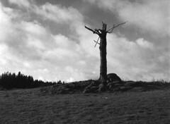 Ensomt træ (holtelars) Tags: pentax 645 pentax645 645n 6x45 smcpentaxfa 75mm f28 120 film 120film foma fomapan fomapan200 fomapan200creative 200iso mediumformat analog analogue blackandwhite classicblackwhite bw monochrome filmforever ishootfilm filmphotography xtol homeprocessing larsholte gäddarp sverige sweden lone cruciform tree