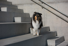 Need a break, Collie, Norway (KronaPhoto) Tags: dog hund collie doglife stairs street break trapper lines urban pet petlover kjæledyr animal dyr