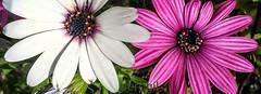 (perogilfotos) Tags: floresyjardines flor floral flowers flores flower color colour naturaleza natura nature petals petal garden