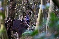 Roe deer portrait (Baz2016) Tags: saycheese nature portrait picture woods roedeer deer wildlife
