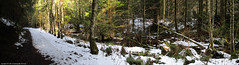 2019-02-21 Whistle Lake Trail 20 Panorama (3775x1024) (-jon) Tags: anacortes skagitcounty skagit washingtonstate washington salishsea fidalgoisland sanjuanislands hike hiking walk walking woods forest pnw pacificnorthwest whistlelake trail anacortescommunityforestlands acfl trail20 leaves winter snow ice tree color colour composite stitched pano panorama panoramic a266122photographyproduction canonpowershotelph180