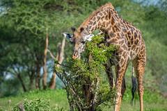 Giraffe at Tarangire (lamydude) Tags: safari giraffe tarangire tanzania