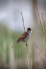 Reed Bunting (jonathanclark) Tags: countydown northernireland castleespie wwt reedbunting bunting bird wildlife wild natural nature spring