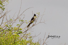 Jacobin Cuckoo, Timbavati, Kruger National Park, Jan 2019 (roelofvdb) Tags: 2019 382 cuckoo cuckoojacobin date jacobincuckoo january knp place satara southernafricanbirds year