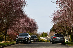 Early Spring Seattle Views 8 (C.M. Keiner) Tags: seattle washington usa city cityscape skyline mountains pacific northwest puget sound spring trees blossoms urban magnolia streetscape cherry