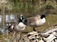 Busy geese (EcoSnake) Tags: geese canadageese waterfowl wildlife water spring april resting idahofishandgame naturecenter