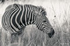 What Did I Miss? (FidoPhoto (John McKeen)) Tags: zebra zebrastripes zebras wildlife wildlifephotography africa animal africananimal africanwildlife animalportrait southafrica grass stripes monochrome monochromatic mammal blackwhite blackandwhitephotography blackandwhite copyrightjohnmckeen