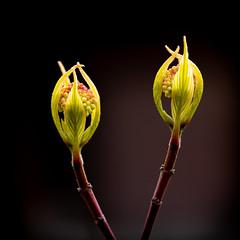 Spring buds (++sepp++) Tags: garten natur hartriegel cornus cornusalbasibirica knospen buds nature nahaufnahme closeup makro macroshot macro makroaufnahme garden strauch bush challengegamewinner