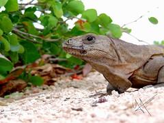 Friend03 (117 PHOTO) Tags: iguana reptil amigo
