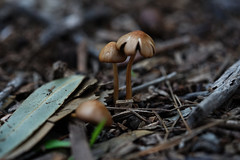 Mushrooms (Macro) (Jocarlo) Tags: mushrooms mushroom mushies mushie seta setas setes hongos hongo flickrclickx flickraward flickrstruereflection1 flickrphotowalk flickr fotografía fotografias fotos makro makros macro macros macrophotographers macrofotografía macrofotografie macrography macrophotography macrophotografer photomacrography pilze pilce fungus fungi funghi fungí afotando bosque parques parque crazygeniuses crazygenius creative creativa creativeartphotography genius gente gentes guys ilce sonya7 sony fe90mm a7 jocarlo melilla ngc nature natura natur naturaleza photography micologia micología mycology