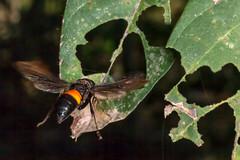 Hornet Looking for Wasps - _TNY_3584 (Calle Söderberg) Tags: macro canon canon5dmkii canoneos5dmarkii canonef100mmf28usmmacro canon5dmarkii 5d2 flash meike mk300 glassdiffusor raynox dcr250 vietnam phuquoc flying geting wasp hornet midair greaterbandedhornet vespa tropica black orange vespidae vespoidea f22