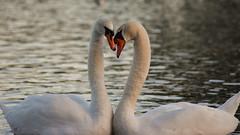 Whisper sweet nothings.. (Andy Jah) Tags: swans birds love selectivefocus waterfowl beauty water