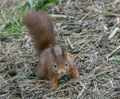 Red squirrel (vickyouten) Tags: redsquirrel squirrel nature wildlife wildlifephotography britishwildlife nikon nikond7200 nikonphotography sigma150600mm formbybeach crosby liverpool uk vickyouten