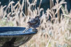 Early morning dip.... (glendamaree) Tags: wattlebird littlewattlebird bird australianbird australia nature nativebird