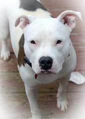 faith (courtney065) Tags: nikond600 dog canine bw dogsbw animalportrait dogportraits vignette soft artistic fauna pets petphotography faith staffordshireterrier americanstaffordshirebullterrier