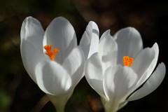 は〜るよ来い / Crocus      SOM Berthiot Anastigmat 50mm  F 3.5 (情事針寸II) Tags: spring light printemps lumiere 春 光 マクロ撮影 自然 花 クロッカス triplet oldlens white macro bokeh nature fleur flower crocus somberthiotanastigmat50mmf35