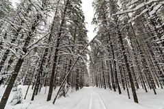 'Convergence' (Canadapt) Tags: trees forest snow winter wideangle blackspruce pine starlake canadapt