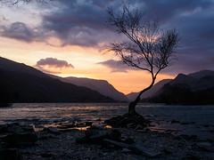 The Lone Tree Llanberis (Louis Alexander Smith) Tags: olympus olympuspenf olympus17mmf18 sunrise landscape wales northwales snowdonia