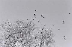 00283B1-R01-034 (thebiblioholic) Tags: bw film ilfordhp5plus crc birds setonpark flocking