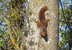 Vous avez vu ma belle queue en panache ? (Kermitfrog ;-)) Tags: écureuil squirrel dole jura bourgognefranchecomté 39 arbre canal canaldurhoneaurhin mrnutz