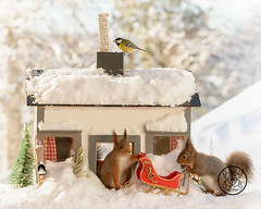 red squirrels and tit standing with a house in snow (Geert Weggen) Tags: redsquirrel nut red squirrel acrobat animal back breaking broken cheerful colored concepts cracked cracker crushed cute dinner drink eating emotion food mess snow winter tree christmas house home roof bird tit titmouse greattit bispgården jämtland sweden geert weggen ragunda geertweggen hardeko