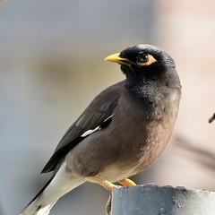 Noise maker (hasham2) Tags: bird common myna dof wildlife nikon d7100 zoomlens