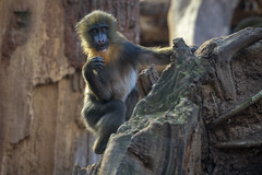 Jetzt hast du mich doch Erwischt.... (DeanB Photography) Tags: 1dx 2019 animals canon deanb magdeburg sigma sigma150600 tier tiere tierpark tierwelt zoo animal tierfotograf zoopark affe affen mandrill