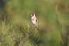 Pintassilgo (Carlos Santos - Alapraia) Tags: pintassilgo ngc ourplanet animalplanet canon nature natureza wonderfulworld highqualityanimals unlimitedphotos fantasticnature birdwatcher ave bird pássaro
