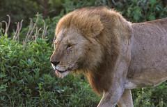 Peevishly Moving On (AnyMotion) Tags: lion löwe pantheraleo male mondayface montagsgesicht 2018 anymotion ndutu ngorongoroconservationarea tanzania tansania africa afrika travel reisen animal animals tiere nature natur wildlife 7d2 canoneos7dmarkii ngc npc