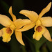 "Lc. Meadowgold ""Summerbury"" – Lorna Rammon"