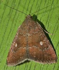 One spot Moth Amyna axis  Acontiinae Erebidae Noctuoidea Airlie Beach rainforest P1460933 (Steve & Alison1) Tags: one spot moth amyna axis acontiinae erebidae noctuoidea airlie beach rainforest