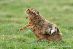 Brown Hare Fight (www.facebook.com/PaulSmithWildlife) Tags: wildlife nature springwatch hares suffolk boxinghares
