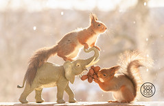 red squirrel is standing  on a elephant with nuts (Geert Weggen) Tags: holidayevent snow squirrel winter animal closeup cute horizontal looking mail mammal nature nopeople photography red rodent season sweden quirrel water wet drop melt welting elephant sun spring food nut bispgården jämtland geert weggen hardeko ragunda
