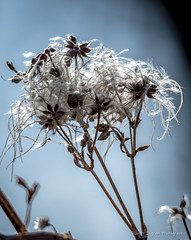 Seeds (Iggythump) Tags: policepointpark medicinehat southernalberta southsaskatchewanriver spring muledeer robin