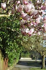suburban magnolia (auroradawn61) Tags: 50mmlens niftyfifty poole dorset uk england march spring flowers nikon 2019 suburban magnolia street