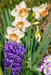 Gemischtes Beet (KaAuenwasser) Tags: hyazinthe narzissen osterglocken blüten blumen pflanzen frühling beet pflanzung anlage garten park botanischergarten