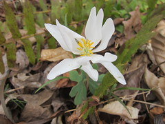 bloodroot (Carolina Victory) Tags: bahama wildflowers northcarolina