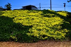 Superbloom (greenelent) Tags: flowers yellow manhattanbeach ca california superbloom2019 365 photoaday