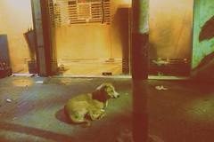 Dhaka 2019 (Mridul Bangladeshi) Tags: streetphotography street animal dog urban urbanphotography asia iphoneclick iphonephotography iphone filmcamera filmphotography vscofilm vsco photography bangladesh dhaka dhakacity