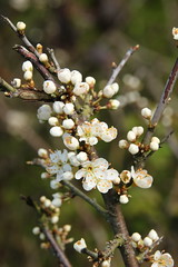 Blackthorn (worldthroughalens74) Tags: blackthorn blossom sloe spring tree uk england staffs outdoors nature canon sigma