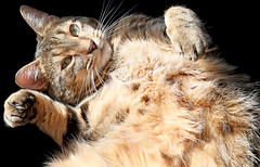Happy Birthday, PJ Harvey! (kirstiecat) Tags: caturday cat chat gato happybirthday catbelly tabbycat feline kitty pet animal