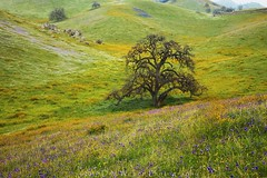 Oak with spring color (DM Weber) Tags: california landscape flowers oaks colors blue purple orange gold green psa148 dmweber canon eos5dmk2